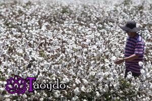 campos de algodon